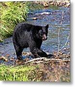Alaskan Black Bear Hunting In A River Metal Print