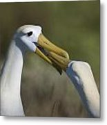 Albatross Courtship Metal Print