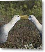 Albatross Perform Courtship Ritual Metal Print