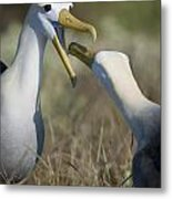 Albatross Perform Mating Ritual Metal Print
