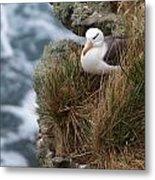 Albatross Rookery Metal Print