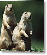 Alert Black-tailed Prairie Dogs Metal Print