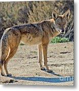 Alert Coyote Metal Print