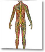 All Body Systems In Male Anatomy Metal Print