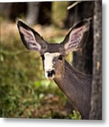 All Ears - Mule Deer Fawn - Casper Mountain - Casper Wyoming Metal Print