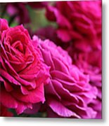 All The Fuchsia Pink Roses  Metal Print