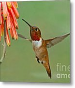 Allens Hummingbird At Flowers Metal Print