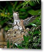 Allens Hummingbird Chicks Metal Print