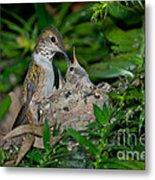 Allens Hummingbird Feeds Young Metal Print