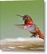 Allen's Hummingbird Metal Print by Thy Bun