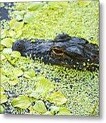 Alligator In Duckweed Looking At Me Metal Print