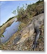 Alligator In Everglades Metal Print