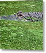 Alligator In Swamp Metal Print