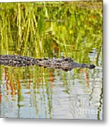 Alligator Reflection Metal Print by Al Powell Photography USA