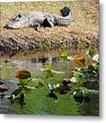 Alligator Sunbathing Metal Print