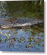 Alligator Swimming In Blue Water Metal Print