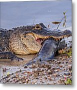 Alligator With A Fish Metal Print