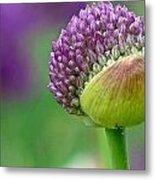 Allium Blooming Metal Print