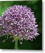 Allium Metal Print