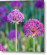 Allium Flowers - Featured 3 Metal Print