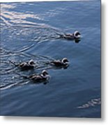 Almost Synchronized Swimming  Metal Print