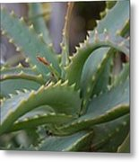 Aloe Vera Leaves  Metal Print