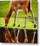 Along The Water Grazing Pere David's Deer Metal Print