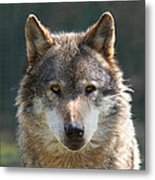 Alpha Male Wolf - I'm Watching You Metal Print