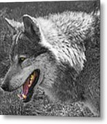 Alpha Male Wolf - You Look Tasty 2 Metal Print