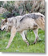 Alpha Wolf On The Move Metal Print