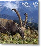 Alpin Ibex Male Grazing Metal Print by Konrad Wothe