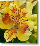 Alstroemerias Flower 1 Metal Print