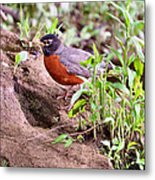 Am Robin Metal Print