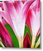 Amaryllis Flowers And Buds In The Rain Metal Print