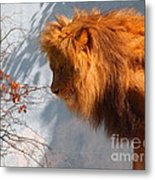 Amazing Male Lion Metal Print