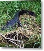 American Alligator 002 Metal Print