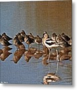 American Avocet And Sleeping Dowitchers Metal Print