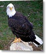 American Bald Eagle 2 Metal Print