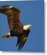American Bald Eagle Close-ups Over Santa Rosa Sound With Blue Skies Metal Print
