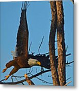 American Bald Eagle I Mlo Metal Print