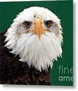 American Bald Eagle On The Look Out Metal Print by Inspired Nature Photography Fine Art Photography