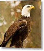American Bald Eagle Resting Metal Print by Douglas Barnett
