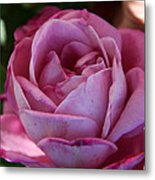 American Beauty IIi Metal Print