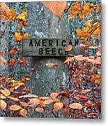 American Beech Metal Print