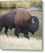 American Bison On The Madison River Metal Print