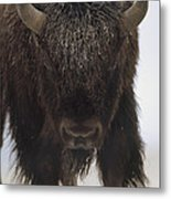 American Bison Portrait Metal Print by Tim Fitzharris