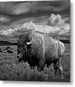 American Buffalo Or Bison In The Grand Teton National Park Metal Print