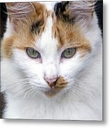American Calico Cat Portrait Metal Print