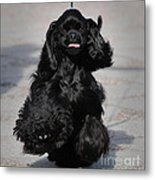 American Cocker Spaniel In Action Metal Print by Camilla Brattemark