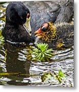 American Coot And Chick Metal Print